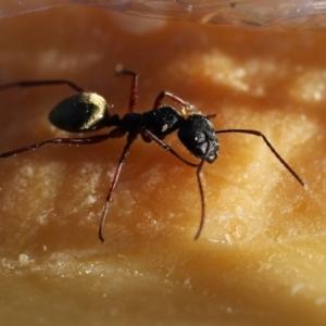 Camponotus suffusus at Wandiyali-Environa Conservation Area - 4 Nov 2012