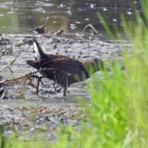 Porzana fluminea at Jerrabomberra Wetlands - 14 Jan 2019