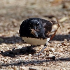 Rhipidura leucophrys (Willie Wagtail) at Jerrabomberra Wetlands - 13 Jan 2019 by RodDeb