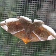 Dysgonia propyrrha (An Erebid moth) at FS Private Property - 14 Jan 2019 by Stewart