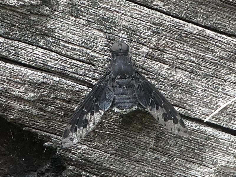 Anthrax sp. (genus) at Bimberi Nature Reserve - 11 Jan 2019
