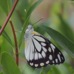 Belenois java (Caper White) at Conder, ACT - 29 Dec 2018 by michaelb