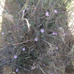 Epilobium sp. (A Willow Herb) at Black Flat at Corrowong - 3 Jan 2019 by BlackFlat