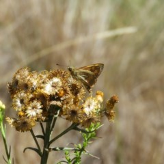 Ocybadistes walkeri (Greenish Grass-dart) at Kambah, ACT - 14 Jan 2019 by MatthewFrawley