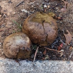 Pisolithus marmoratus (A puffball) at Macquarie, ACT - 11 Jan 2019 by Heino1