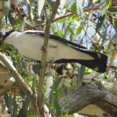 Lalage tricolor (White-winged Triller) at Gilmore, ACT - 16 Jan 2019 by roymcd