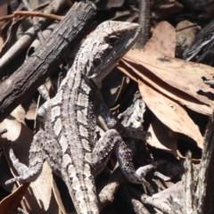 Amphibolurus muricatus (Jacky Lizard) at Coree, ACT - 16 Jan 2019 by Christine