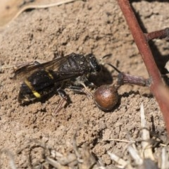 Crabroninae sp. (subfamily) (Unidentified solitary wasp) at Higgins, ACT - 13 Jan 2019 by Alison Milton