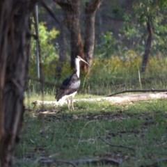 Threskiornis spinicollis (Straw-necked Ibis) at Red Hill Nature Reserve - 15 Jan 2019 by JackyF