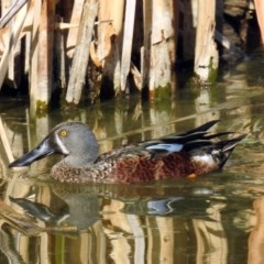Spatula rhynchotis at Jerrabomberra Wetlands - 17 Jan 2019