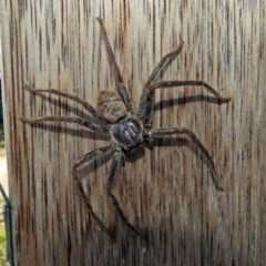 Isopeda sp. (genus) (Huntsman Spider) at Jerrabomberra Wetlands - 16 Jan 2019 by RodDeb