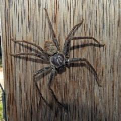 Isopeda sp. (genus) (Huntsman Spider) at Jerrabomberra Wetlands - 16 Jan 2019 by RodDeb