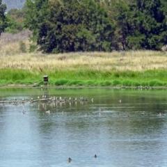 Malacorhynchus membranaceus at Jerrabomberra Wetlands - 17 Jan 2019
