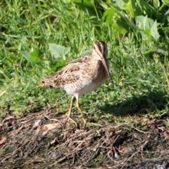 Gallinago hardwickii at Jerrabomberra Wetlands - 17 Jan 2019
