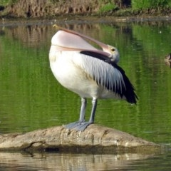 Pelecanus conspicillatus (Australian Pelican) at Jerrabomberra Wetlands - 16 Jan 2019 by RodDeb