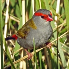 Neochmia temporalis (Red-browed Finch) at Jerrabomberra Wetlands - 16 Jan 2019 by RodDeb