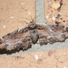 Pholodes sinistraria (Sinister Moth, Frilled Bark Moth) at Conder, ACT - 18 Dec 2018 by michaelb