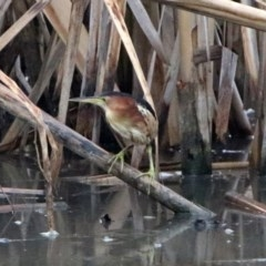 Ixobrychus dubius (Australian Little Bittern) at Jerrabomberra Wetlands - 17 Jan 2019 by RodDeb