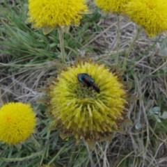 Dicranolaius villosus (Melyrid flower beetle) at Adaminaby, NSW - 17 Nov 2018 by AndrewZelnik