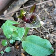 Chiloglottis valida (Common Bird-orchid) at Croajingolong National Park (Vic) - 6 Oct 2011 by GlendaWood