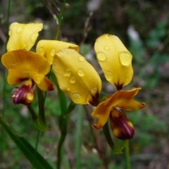 Diuris orientis (Wallflower Orchid) at Croajingolong National Park (Vic) - 3 Oct 2011 by GlendaWood