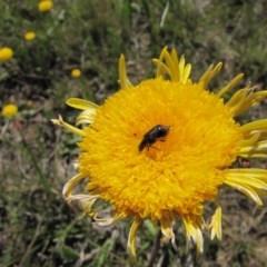 Dicranolaius villosus (Melyrid flower beetle) at Bibbenluke, NSW - 17 Nov 2018 by AndrewZelnik