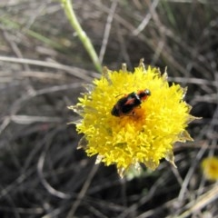 Dicranolaius villosus (Melyrid flower beetle) at Cooma Grasslands Reserves - 21 Nov 2018 by AndrewZelnik