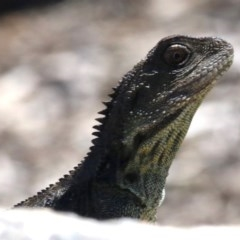 Intellagama lesueurii howittii (Gippsland Water Dragon) at Barton, ACT - 30 Nov 2018 by jbromilow50
