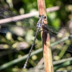 Austroargiolestes icteromelas (Common Flatwing) at Rendezvous Creek, ACT - 6 Jan 2019 by SWishart