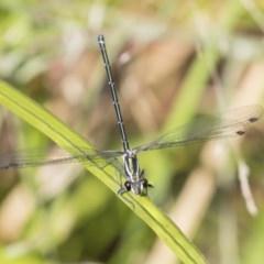 Austroargiolestes icteromelas (Common Flatwing) at ANBG - 16 Jan 2019 by Alison Milton