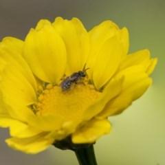 Lasioglossum (Chilalictus) sp. (genus & subgenus) (Halictid bee) at Higgins, ACT - 16 Nov 2018 by Alison Milton