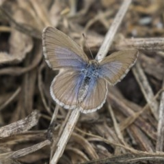 Zizina otis (Common Grass-blue) at Higgins, ACT - 16 Nov 2018 by Alison Milton