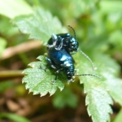 Altica sp. (genus) (Flea beetle) at Namadgi National Park - 31 Dec 2018 by Christine