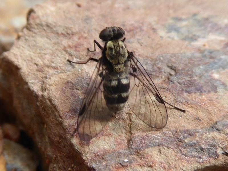 Chrysopilus sp. (genus) at Namadgi National Park - 31 Dec 2018
