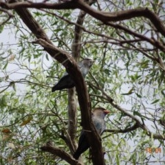 Eurystomus orientalis (Dollarbird) at Federal Golf Course - 17 Jan 2019 by TomT