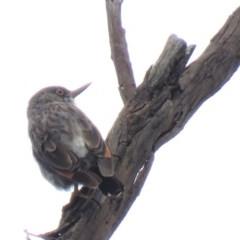 Daphoenositta chrysoptera (Varied Sittella) at Stony Creek Nature Reserve - 18 Jan 2019 by KumikoCallaway
