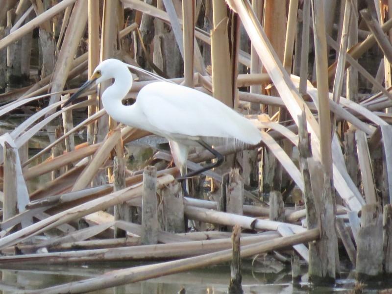 Egretta garzetta at Jerrabomberra Wetlands - 15 Jan 2019