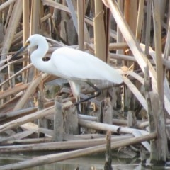 Egretta garzetta (Little Egret) at Jerrabomberra Wetlands - 15 Jan 2019 by KumikoCallaway