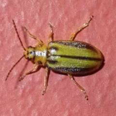 Xanthogaleruca luteola (Elm leaf beetle) at Ainslie, ACT - 18 Jan 2019 by jbromilow50