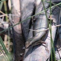 Pseudemoia entrecasteauxii (Woodland Tussock-skink) at Namadgi National Park - 10 Jan 2019 by SWishart