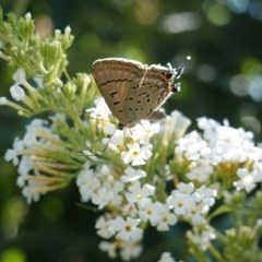 Jalmenus ictinus (Stencilled Hairstreak) at Hughes, ACT - 19 Jan 2019 by JackyF