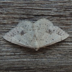Taxeotis intextata (Looper Moth, Grey Taxeotis) at Conder, ACT - 10 Nov 2018 by michaelb