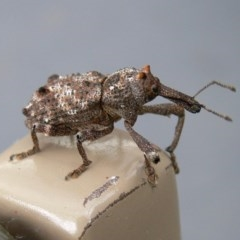 Orthorhinus cylindrirostris (Elephant weevil) at Kambah, ACT - 1 Jan 2011 by HarveyPerkins