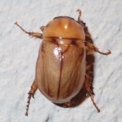 Cyclocephala signaticollis at Ainslie, ACT - 12 Jan 2019
