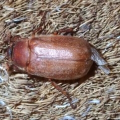 Antitrogus morbillosus (Tableland pasture scarab) at Ainslie, ACT - 14 Jan 2019 by jbromilow50