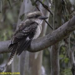 Dacelo novaeguineae (Laughing Kookaburra) at Red Hill Nature Reserve - 18 Jan 2019 by BIrdsinCanberra