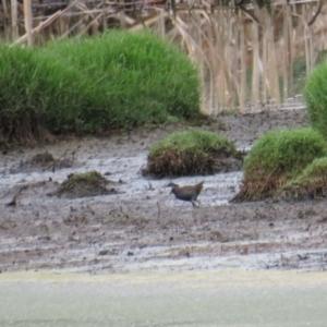 Porzana fluminea at Jerrabomberra Wetlands - 20 Jan 2019