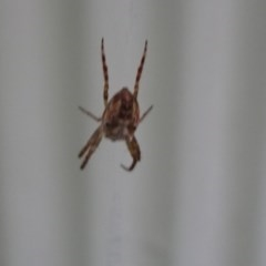 Plebs eburnus (Bush orb-weaver) at FS Private Property - 20 Jan 2019 by Stewart
