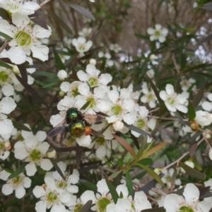 Xylocopa (Lestis) aeratus at Bawley Point, NSW - 7 Jan 2019