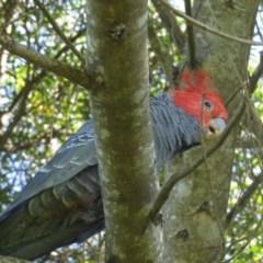 Callocephalon fimbriatum (Gang-gang Cockatoo) at Panboola - 15 Jan 2019 by LizAllen